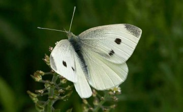 Cabbage_White_Butterfly