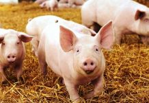 duke-energy-partnership-with-carbon-cycle-energy-to-use-swine-and-poultry-waste