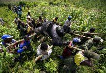 Gorilla protection at Virunga national park